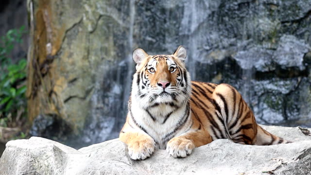 Sumatran tiger video
