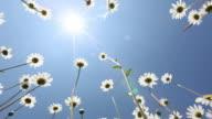 summer field of margerite flower video