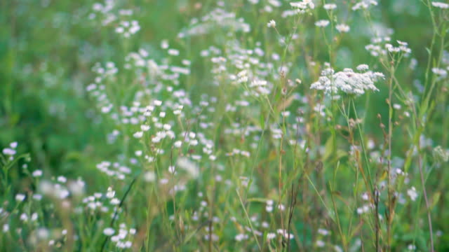 Summer field with white daisies. Summer landscape with a field. Flowers camomiles on meadow. Wild flowers and grass video