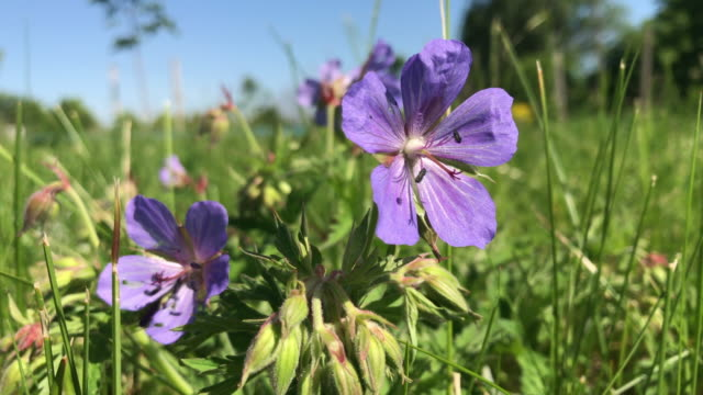 Summer flowering. Blue flowers of small size sway in the wind. video