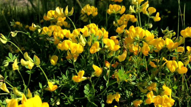 Summer flowering. Yellow flowers of small size sway in the wind. video