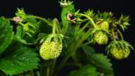 Summer fruit strawberries growing video