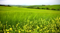 Summer landscape with a green field and yellow flowers video