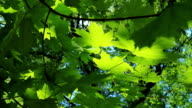 Summer maple video