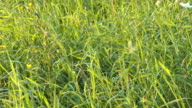 Summer Meadow Strong Wind Close-Up video