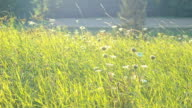 Summer Meadow Strong Wind video