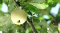 Summer rain in the garden with apples. Apple tree. Slowmotion video