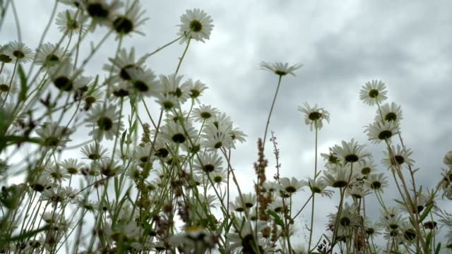 Summer rainy day. Beautiful white daisies in wind. Looking through wild flowers into dark blue sky with clouds from the below up. Insects pollinate the wild flowers. Dolly shot. Concept of seasons, ecology, weather video
