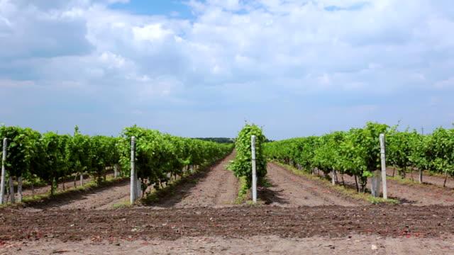 Summer Rows of Vineyards video