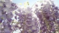 SLOW MOTION CLOSEUP DOF: Summer sunbeams shining through purple wisteria flowers video