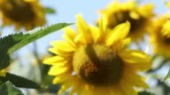 Summer Sunflowers video