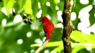 Summer Tanager (Piranga Rubra) vocalising while perched on a branch video