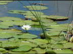 Summer Water Lily video