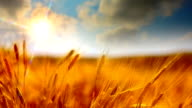 Sun and golden crops video