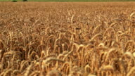 Sun and the large wheat field video