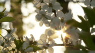 HD DOLLY: Sun Backlit Cherry Blossom video
