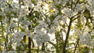 HD DOLLY: Sun Backlit Cherry Tree Blossom video