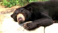 Sun Bear Scratching Head video
