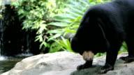 Sun Bear video
