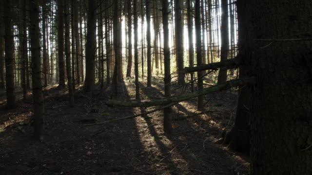 T/L Sun behind coniferous trees video