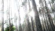 Sun breaks through the pine forest video