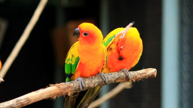 Sun Conure Parrot video
