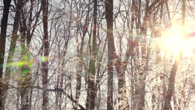Sun flare in winter trees. Sunrise in winter forest. Winter morning video