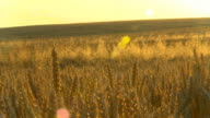 HD DOLLY: Sun Flares Over Golden Wheat video