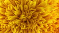 Sun Flower zoom 4K video