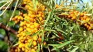 Sun fresh sour sea buckthorn berries video