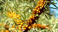 Sun fresh sour sea buckthorn vitaminous  berries lockdown video