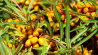 Sun fresh sour sea-buckthorn berries and leaves close up video
