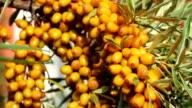 Sun fresh sour seabuckthorn berries closeup video