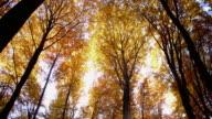 SLO MO Sun illuminated autumn treetops video