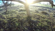 Sun moving through old apple tree in morning, time lapse 4K video