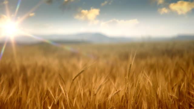 Sun over wheat field video