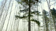 Sun peeks out from behind a coniferous tree video