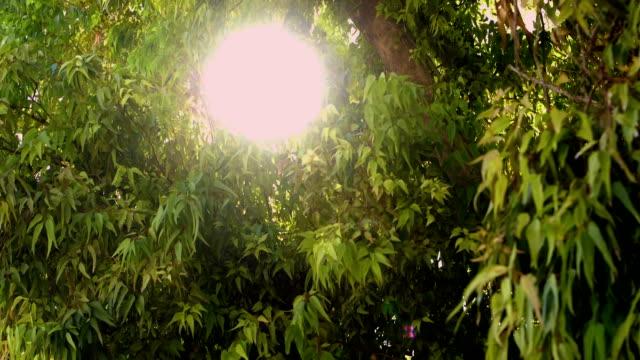 Sun peeks through the branches of a eucalyptus tree video