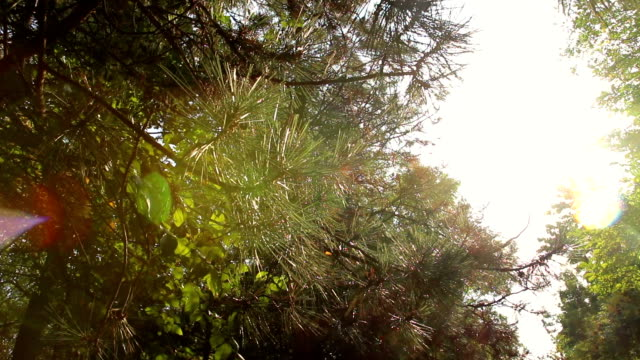 Sun rays are punched through trunks of pines in forest video