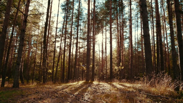 Sun rays in a pine forest video