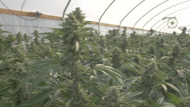 Sun Rays Light Up a Commercial Cannabis Greenhouse video