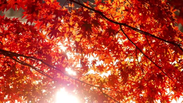 Sun shines through red maple leaves: Autumn scene video