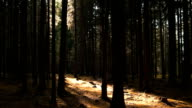 Sun Shining into Coniferous Forest PAN video