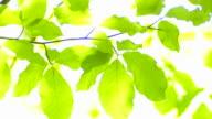 Sun shining through beech leaves video