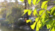 Sun shining through blowing leaves with space video