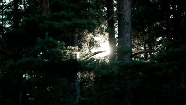 Sun shining through branches of pine trees on a windy day in a forest video