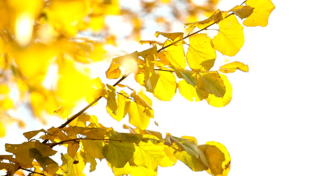 Sun shining through fall leaves blowing in breeze video