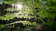 SLOW MOTION: Sun shining through green leaves of young fern video