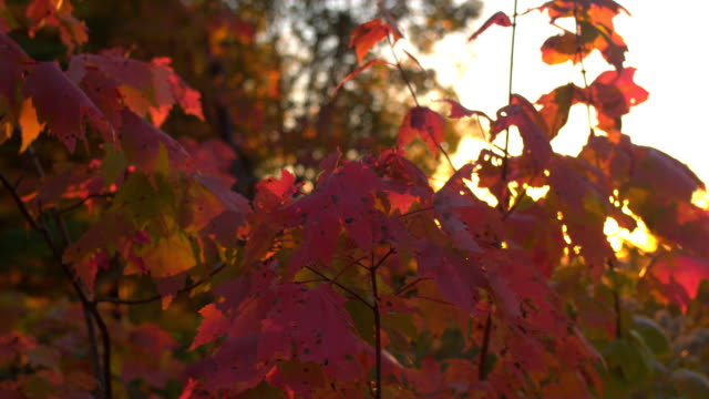 CLOSE UP DOF Sun shining through intense red color fall foliage leaves at sunset video