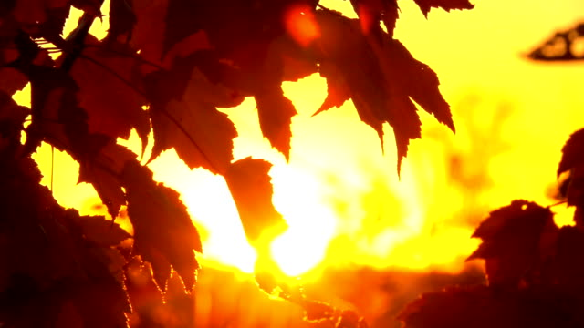 CLOSE UP: Sun shining through maple tree branches in wilderness at golden sunset video